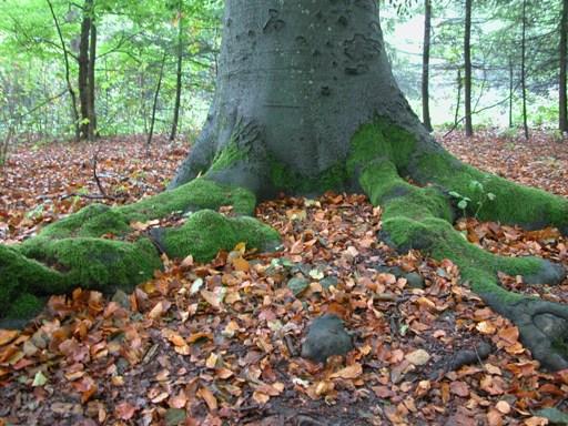 дерево, обросшее мхом