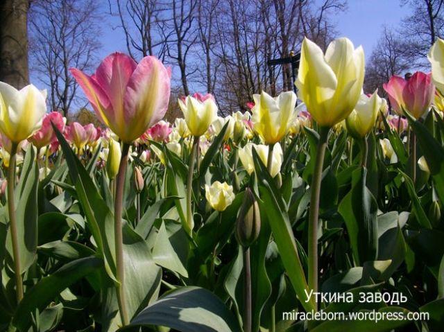 поле тюльпанов голландия