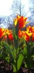 тюльпаны нидерланды