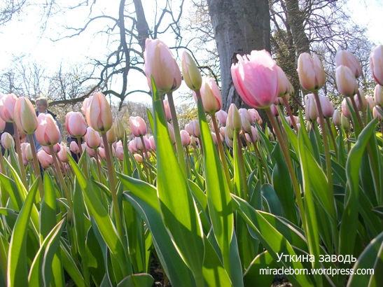 розовые тюльпаны поле голландия