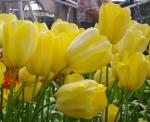 тюльпаны желтые кекенхоф
