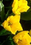тюльпаны цветы голландия