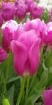 тюльпан розовый нидерланды