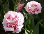тюльпаны парк цветов