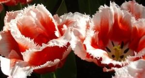 голландские тюльпаны парк цветов
