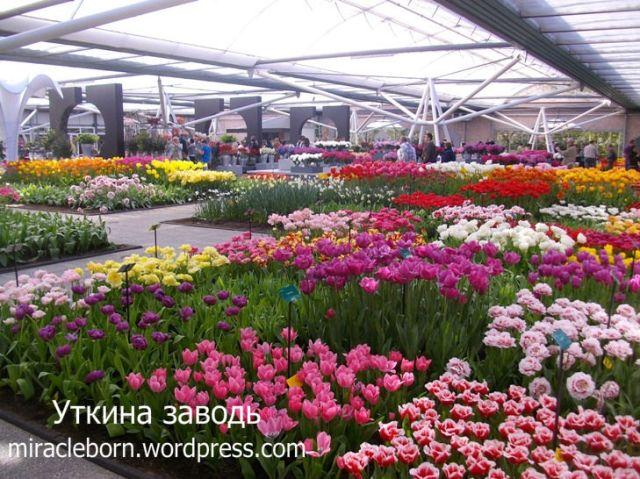 павильон кекенхоф голландские тюльпаны сорта