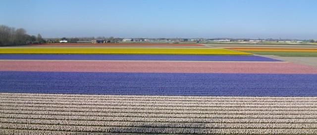 цветочное поле голландия